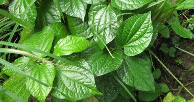 Điều trị bệnh phong tê thấp đơn giản bằng thảo dược quanh nhà