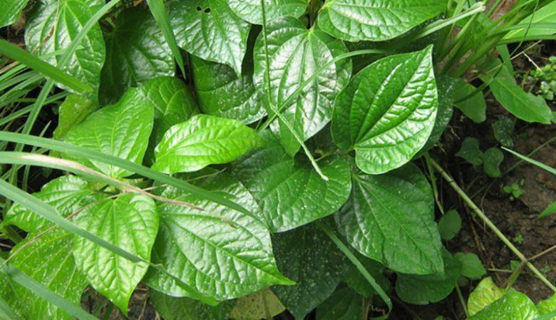 cây lá lốt chữa tê thấp